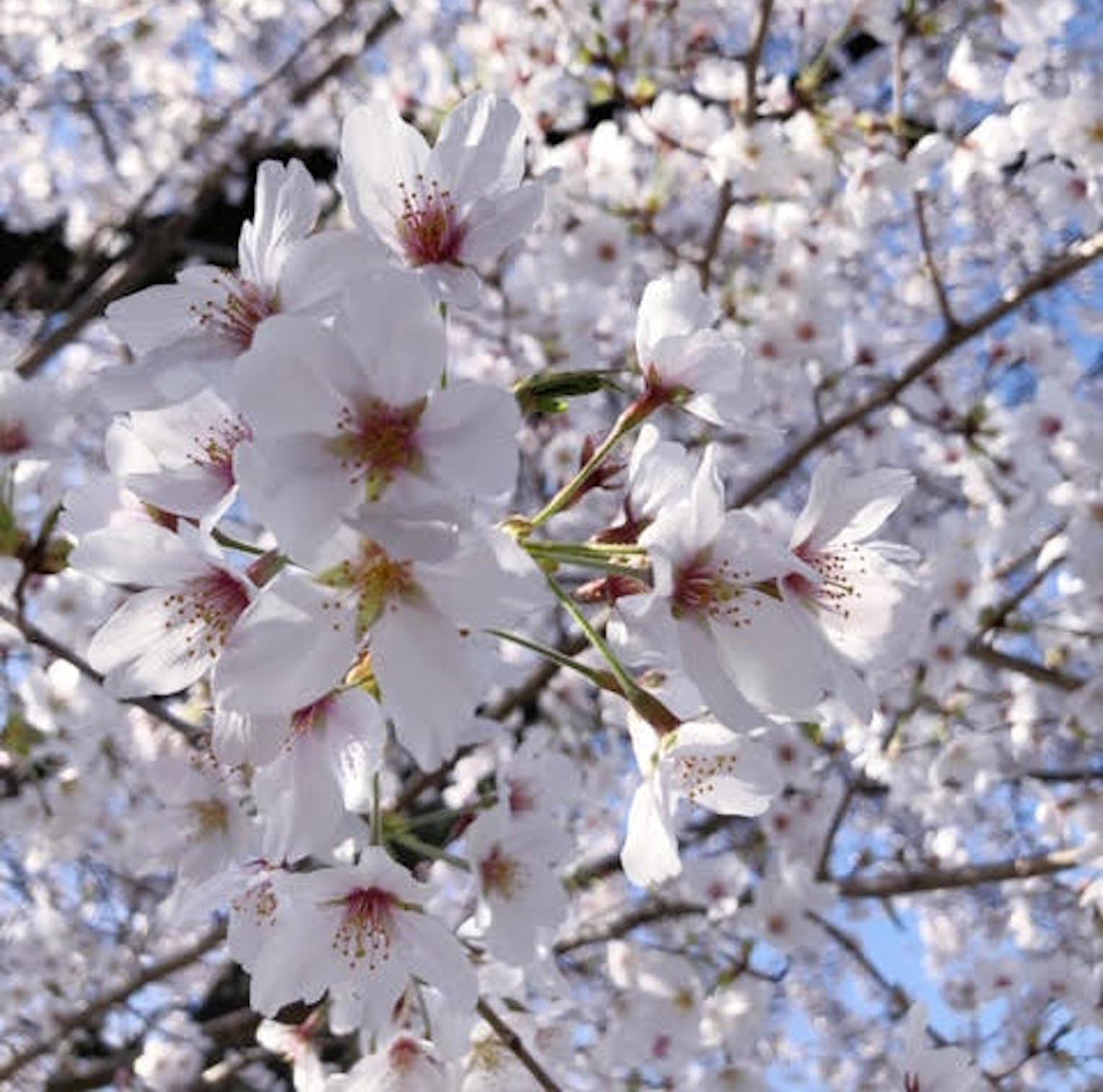 ■コトリンゴさん桜写真